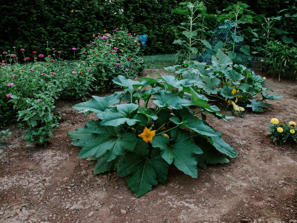 Tất cả các loại bí, cả hai loại mùa hè và mùa đông, đều bị sâu bệnh hại. Nhưng một số cây trồng và kỹ thuật đồng hành có thể hỗ trợ thụ phấn, ngăn chặn sâu bệnh và giúp bạn thu hoạch tốt hơn.