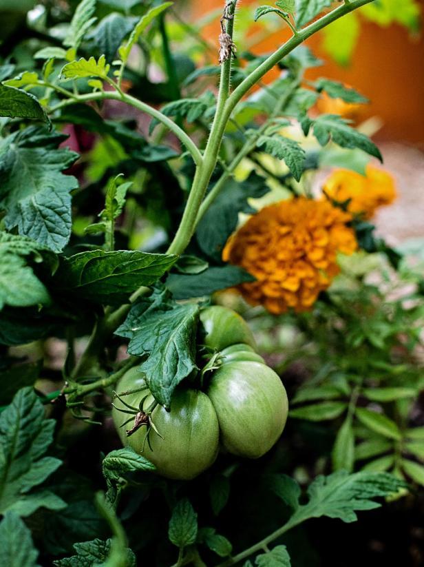Các vấn đề với cà chua vườn thường phát sinh do thiếu thụ phấn hoặc do sâu bệnh. Khi bạn trồng cà chua cùng với nhiều loại hoa như cúc vạn thọ, các loại rau thơm như húng quế và cỏ xạ hương, và các loại rau khác như hành tây, bạn sẽ tăng khả năng thụ phấn tốt và giảm áp lực từ sâu bệnh mang bệnh.