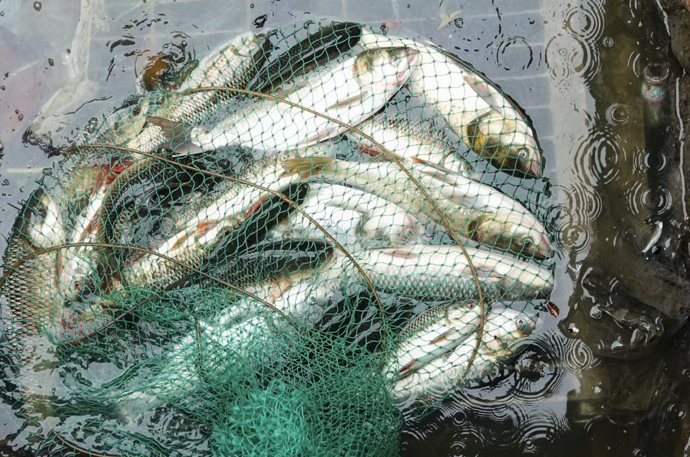 Theo quan sát, cá được thu hoạch chủ yếu là mè, trôi, trắm, trê, chép, nheo... Những con cá có trọng lượng khá lớn, trung bình 0,8 đến 1 kg.