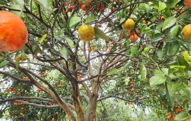 <p><em>Theo một số người chơi cây cảnh, đây là loại quýt rừng, rất dễ chăm sóc và cho trái</em></p>