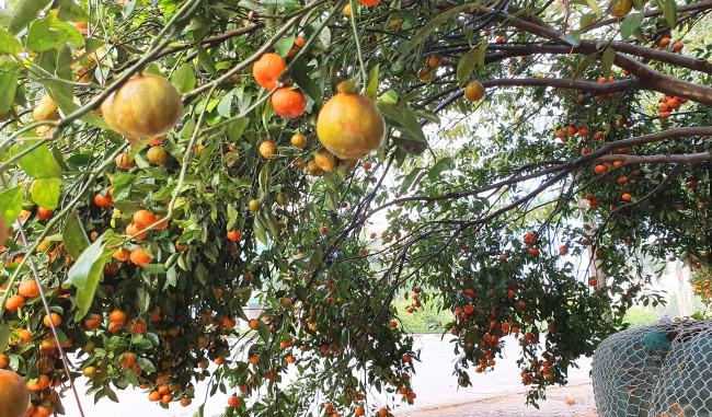 <p><em>Tán cây rộng với hàng ngàn quả chín mọng khiến nhiều người thích thú</em></p>