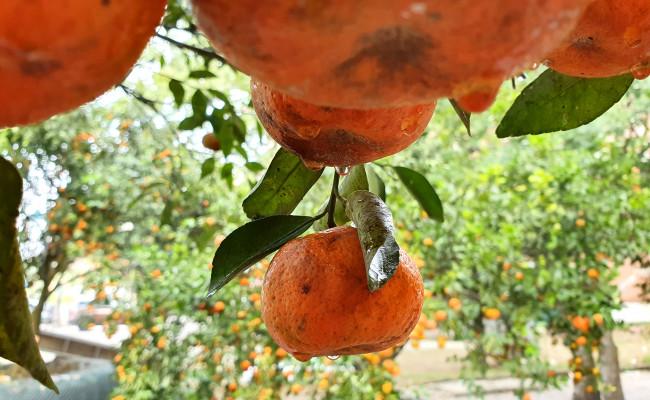 <p><em>Với giá bán khoảng 100 triệu đồng, đây được xem là cây cảnh có giá trị cao nhất tại chợ hoa tết ở Nghệ An đến thời điểm hiện tại</em></p>