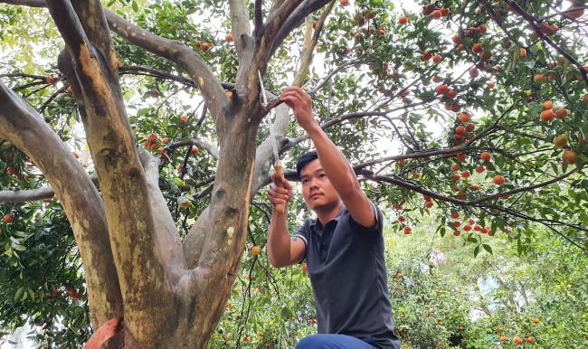 """<p><em>Anh Võ Xuân Trường (29 tuổi, trú tại thành phố Vinh, tỉnh Nghệ An) cho biết, từ 3 tháng trước nhóm bạn của anh đã vào các bản, làng ở huyện miền núi Quỳ Hợp """"săn"""" cây quýt cổ thụ để phục vụ người chơi hoa, cây cảnh dịp Tết Nguyên đán</em></p>"""