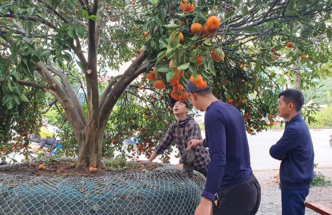 <p><em>Sáng 10/1, hai cây quýt khủng với những chùm quả chín mọng được chủ một vườn cây đem từ huyện miền núi Quỳ Hợp, tỉnh Nghệ An xuống chợ hoa Tết Canh Tý tại thành phố Vinh, Nghệ An bày bán đã thu hút sự quan tâm, hiếu kỳ của nhiều người</em></p>