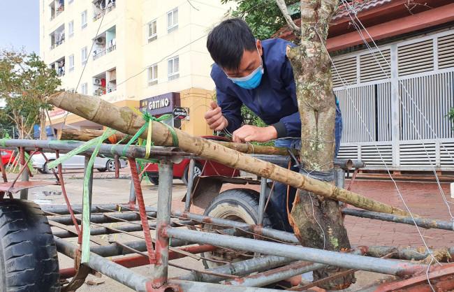 <p>Nhiều gốc đào lớn phải được buộc, chằng chéo cẩn thận khi xuống phố</p>