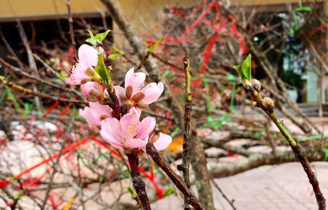 """<p>Hoa của đào đá thường có cánh to, màu phớt hồng và tuổi thọ của hoa khá lâu nên được nhiều người ưa chuộng. """"Những cành đào chẳng có lấy một hoa, nhìn như cành củi khô, đó mới là cái độc đáo của đào rừng. Chỉ cần chăm đủ nước, vài hôm lộc sẽ nhú, hoa nở"""", một thương lái bán đào rừng quảng cáo.</p>"""