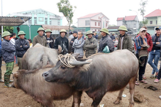 <p>Mặt hàng ở đây là trâu, bò, nghé, bê con từ các nơi trong và ngoài tỉnh cũng như từ Lào, Thái Lan, Myanmar... tập trung về.</p>