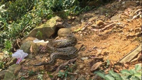 Trăn đất 10 kg quý hiếm có tên trong Sách đỏ được thả vào rừng