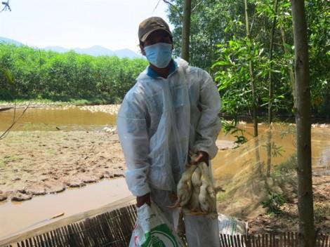 Bùng phát 2 ổ dịch cúm H5N6 trên đàn vịt  6.500 con