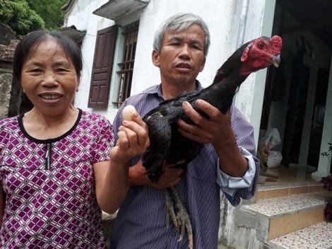 Kỳ lạ gà trống đẻ trứng ở Nghệ An