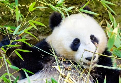Đáp án tìm gấu trúc Panda hay gấu túi Koala