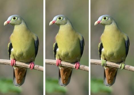 Đố vui: Trong bầy chim cu xanh mỏ quặp này, con nào khác biệt?