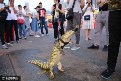 Dắt cá sấu dạo phố để sau đó... ăn thịt