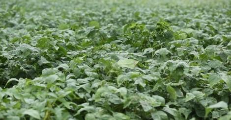 Bảo Xuân xây dựng vùng trồng đậu nành không biến đổi gen theo tiêu chuẩn GACP-WHO đầu tiên tại Việt Nam