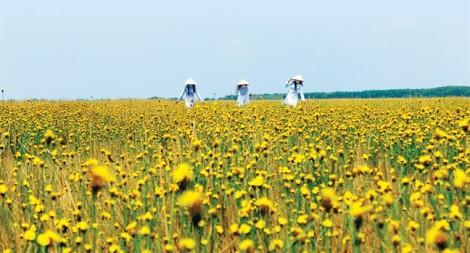 Đi giữa hoa vàng lộng lẫy