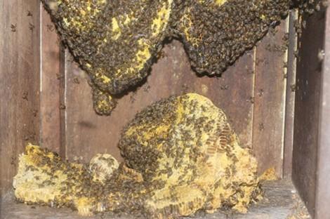Kỳ lạ ong rừng kéo nhau về nhà làm tổ, người dân được hưởng mật ong nguyên chất