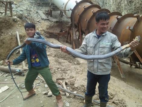 Nhóm công nhân liều mạng vây bắt rắn hổ mang chúa dài hơn 3m