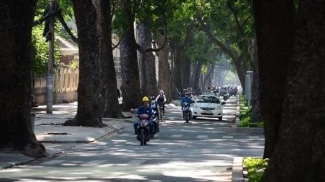 Thêm 258 cây xanh trên đường Tôn Đức Thắng sẽ bị di dời, đốn hạ