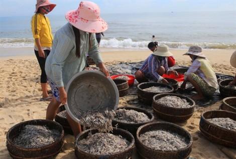 Sau bão số 2, ngư dân Huế kiếm tiền triệu mỗi sáng nhờ trúng đậm cá cơm