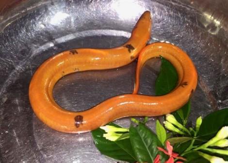 Bắt được lươn vàng óng, có ký hiệu lạ trên thân
