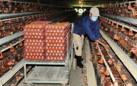Hàn Quốc muốn nhập trứng, doanh nghiệp Việt  không thể xuất khẩu