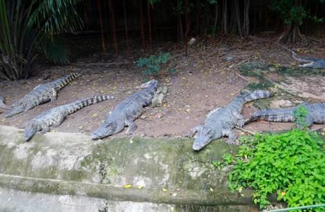 Cận cảnh trại nuôi ấp cá sấu hàng nghìn con