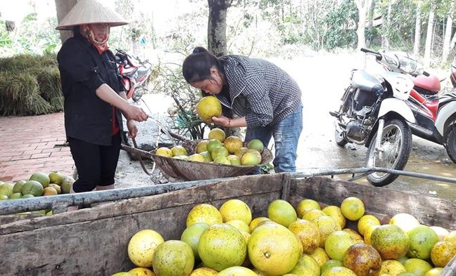 Buoi Phuc Trach rung vang vuon sau bao