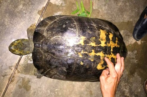 Rùa 'khủng' có vân lạ liên tiếp bò lên đường làng