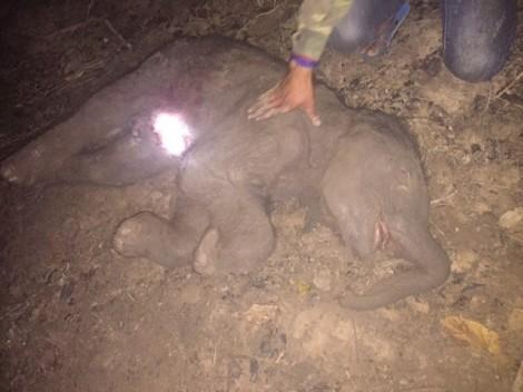 Voi con ở Đắk Lắk chết trong bụng mẹ trước khi chào đời