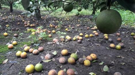 Nông dân khóc ròng bên vườn cam thối rữa sau cơn lũ lịch sử