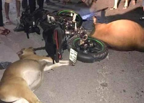 Hai con bò bị húc chết trên đường, chủ không dám nhận vì sợ phạt