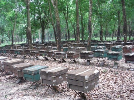 Cảnh báo nuôi ong bằng đậu nành gây ô nhiễm mật ong