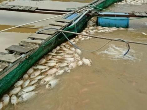 Hơn 200 tấn cá lồng của người dân chết trắng do nước lũ sau cơn bão số 12