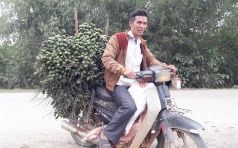 Thương lái đổ xô đi mua cau non xuất ngoại sang Trung Quốc