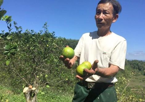 Dân xót xa chặt bỏ hàng ngàn cây cam để làm củi trong mùa thu hoạch