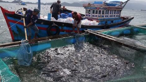 Bán tháo cá bớp gỡ vốn, dân Khánh Hòa 'méo mặt' vì bị thương lái ép giá