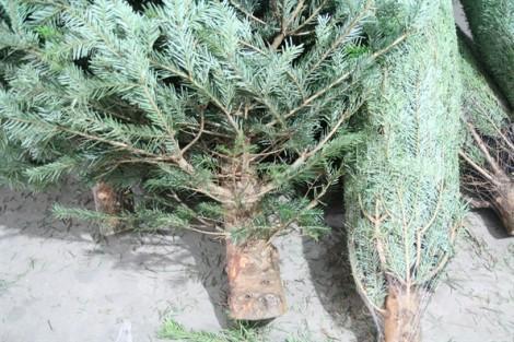 Chơi Giáng sinh với cây thông thật, khách mạnh tay chi hơn 20 triệu đồng