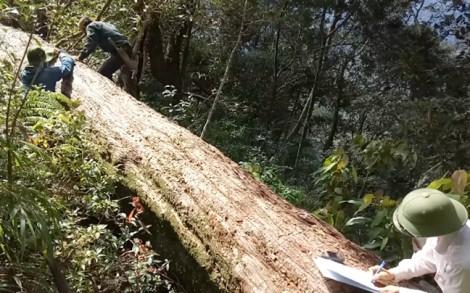 Khởi tố thêm 2 kiểm lâm trong vụ hàng trăm cây Pơ mu bị chặt phá ở Nghệ An