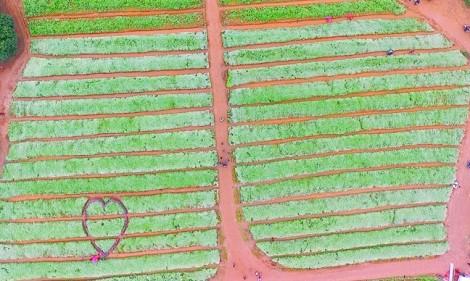 Hàng ngàn người chen chân trong cánh đồng hoa tam giác mạch xứ Nghệ