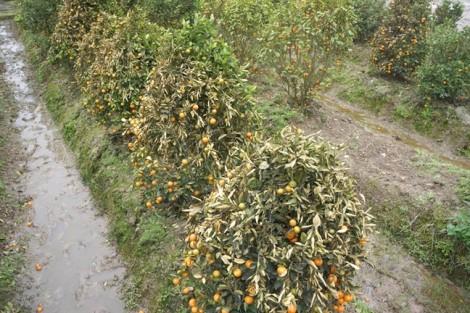 Người dân rơi nước mắt vì 400 cây quất bán Tết nghi bị đầu độc bằng thuốc diệt cỏ