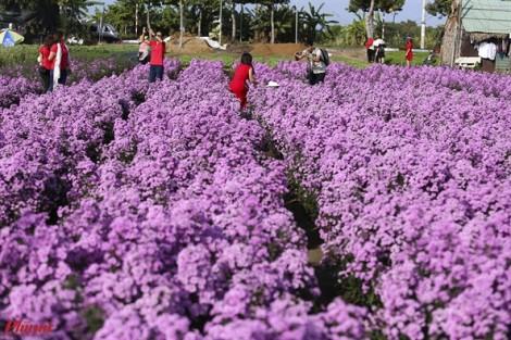 Khu vườn thạch thảo cực đẹp thu hút giới trẻ trong lòng thành phố Bà Rịa