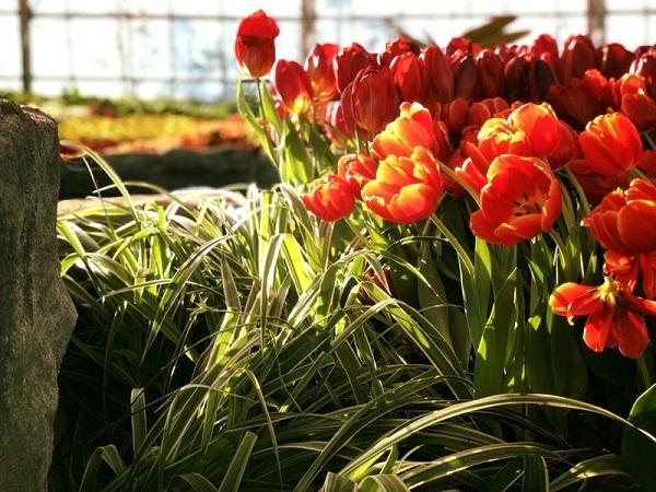 Ra mat le hoi hoa tulip lon nhat Viet Nam tai Vinpearl Nha Trang