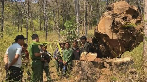 Vụ phá rừng quy mô lớn trong vườn quốc gia: Bắt 15 người phá rừng để... lấy tiền tiêu tết