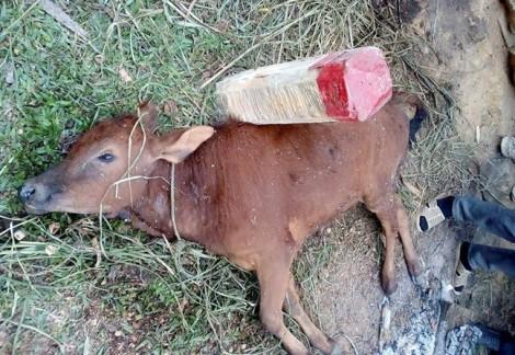 Trâu bò chết hàng loạt trong rừng do rét hại