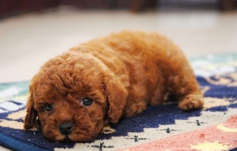 Chú chó nhỏ tích cực tập luyện để giữ eo