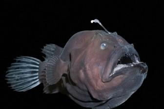 Nhập viện vì 'tự sướng' bằng bao tử cá mặt quỷ