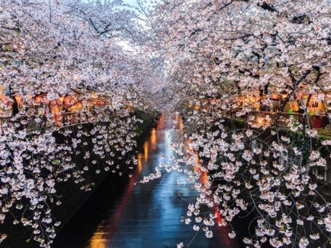 Bỏ túi  10 điểm đẹp mê mẩn để ngắm hoa anh đào Nhật Bản sắp nở rộ