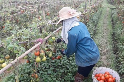 Cà chua được mùa nhưng mất giá, nông dân cay đắng đổ cho heo ăn