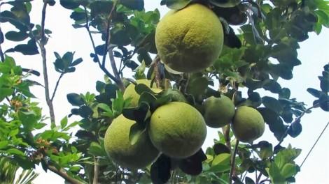 Tăng cơ hội xuất khẩu cho dừa xiêm xanh và bưởi da xanh Bến Tre