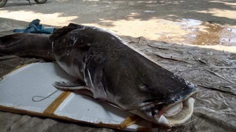Bắt được cá lăng 'khủng' nặng hơn một tạ ở Đắk Lắk